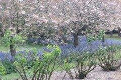 Cherry Blossom November